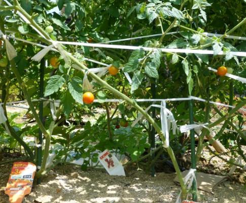 2016.8.2 野菜が育っています。